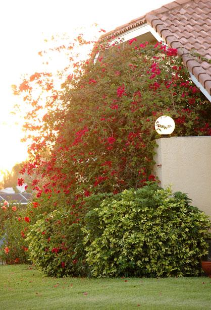 red-bougainvillea-bush-house-light